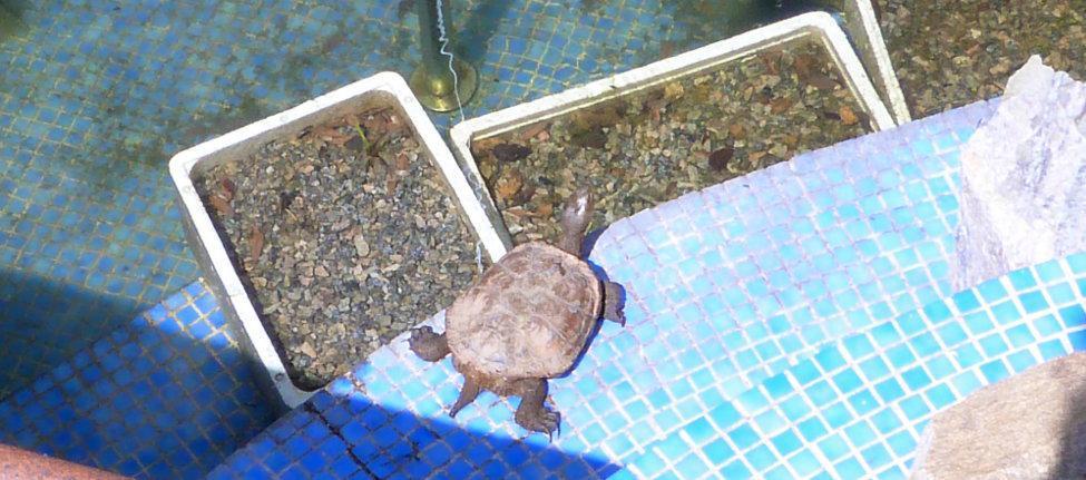 los peces en una piscina ecologica, no son una buena idea