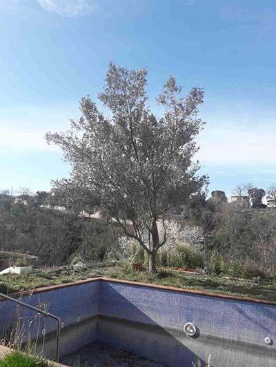 El olivo que crece junto a la piscina de casa